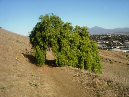 Calif Tree1.JPG