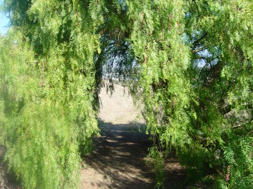 Calif Tree2.JPG