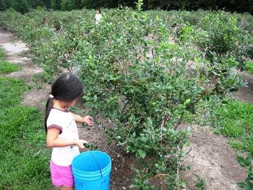 KiKi Picking Blueberries.JPG