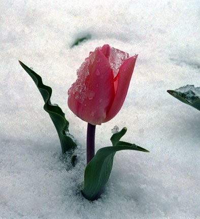tulip-in-snow