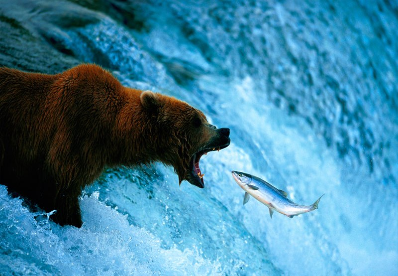 bear catching fish